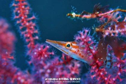 クダゴンベ幼魚