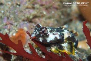 コウワンテグリ幼魚