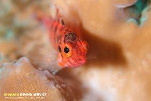 ヒメゴンベ幼魚