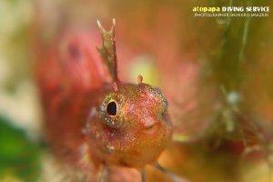 セグロヘビギンポ幼魚