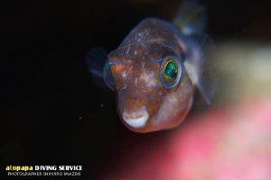 キタマクラ幼魚