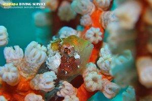 カサゴの仲間幼魚