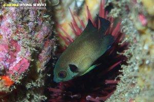 ナメラヤッコ幼魚