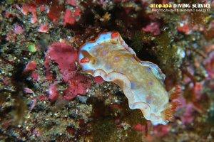 ミカドウミウシ幼体