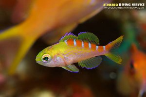 アサヒハナゴイ幼魚