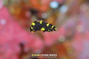 ケサガケベラ幼魚