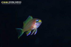 キシマハナダイ幼魚