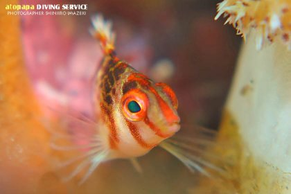 サラサゴンベ幼魚