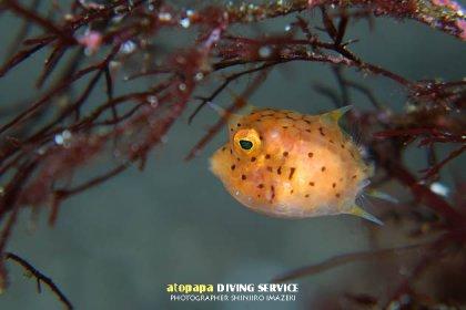 シマウミスズメ幼魚