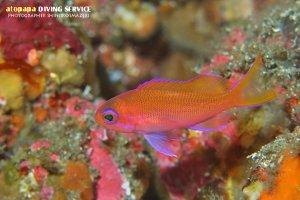 シロオビハナダイ幼魚
