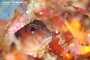 スジタテガミカエルウオ幼魚