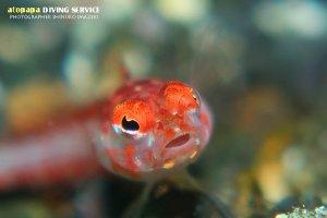 サンゴトラギス幼魚