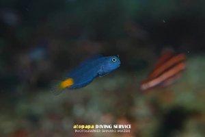 ニラミギンポ幼魚