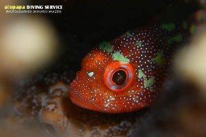 カスリフサカサゴ幼魚