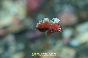 セジロノドグロベラ幼魚