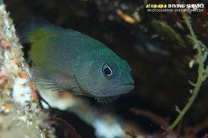 アオノメハタ幼魚
