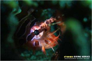 キリンミノ幼魚