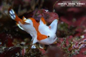 クマドリカエルアンコウ幼魚