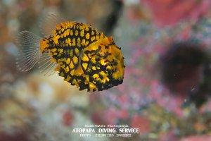 マツカサウオ幼魚