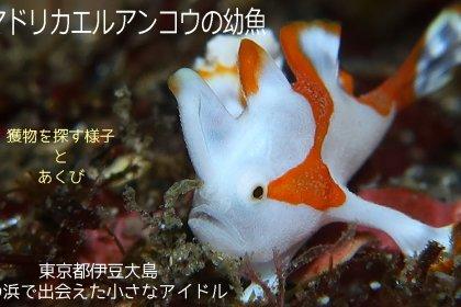 クマドリカエルアンコウの幼魚の動画