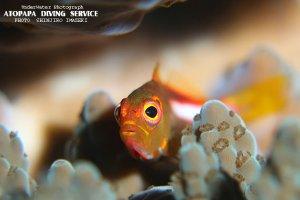 メガネゴンベ幼魚