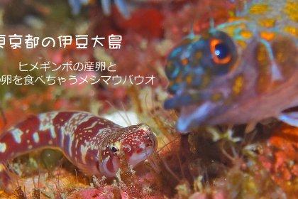 ヒメギンポの産卵とそのタマゴを食べるメシマウバウオ