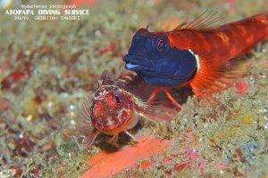 アカヘビギンポの産卵