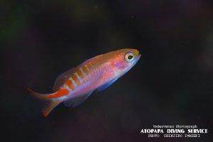 アカボシハナゴイ幼魚