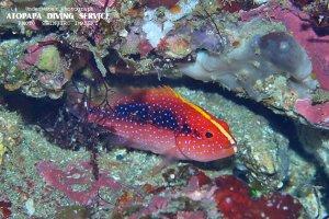 バラハタ幼魚