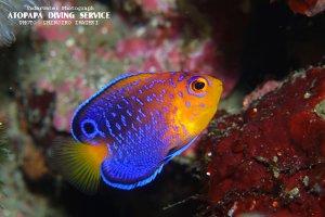 レンテンヤッコ幼魚