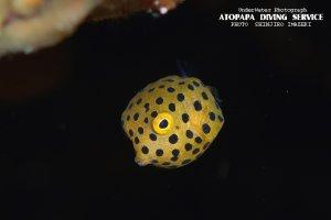 ハコフグ幼魚