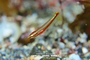 シロタスキベラ幼魚