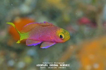ボニンハナダイ幼魚